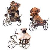 Cuccioli su un terrier yrkshirsky bicicletta, bassotto, carlino — Foto de Stock