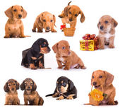 Dachshund puppies in different poses — Stock Photo