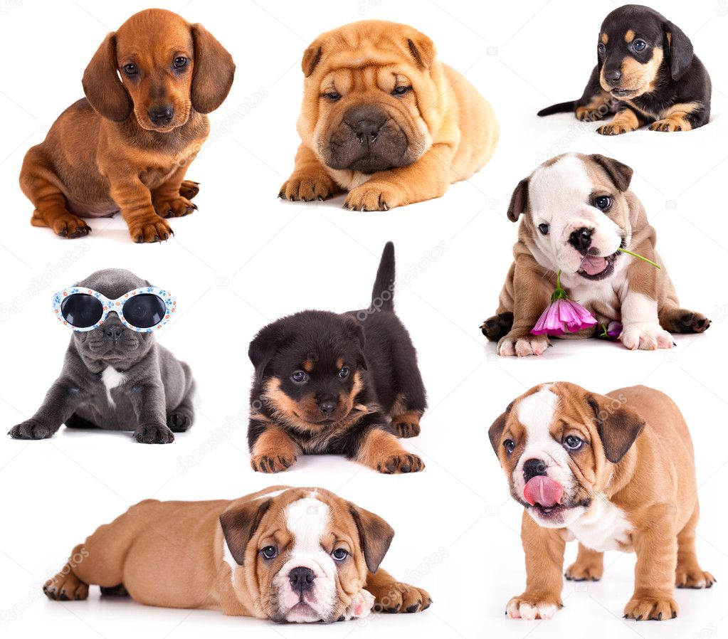 Puppies of different breeds stock photo lilun li 12722125 for Different types of puppies breeds