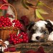 Biewer terrier puppies — Stock fotografie