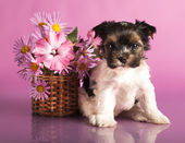 Chihuahua puppy — Stock Photo