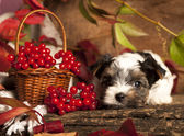 Biewer terrier puppies — Stock Photo