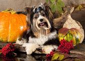 Biewer Yorkshire terrier — Fotografia Stock