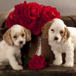 Cocker Spaniel puppies — Stok fotoğraf