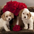 Cocker Spaniel puppies — Foto Stock