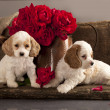 Stock Photo: Cocker Spaniel puppies