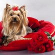 Stock Photo: Yorkshire terrier and red roses