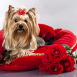 Yorkshire terrier and red roses — Stock Photo