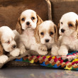 Cocker Spaniel puppies — Foto de Stock