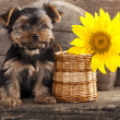 Yorkshire terrier puppy - Foto de Stock