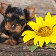 Yorkshire terrier puppy — Stock Photo #14532659