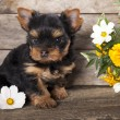 Yorkshire terrier puppy - ストック写真