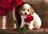 Cocker Spaniel puppy — Stock Photo