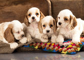 Cocker Spaniel puppies — Stock Photo