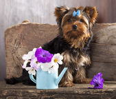 Beaver Yorkshire Terrier — Stock Photo
