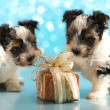 Biewer terrier puppies share Christmas gift - Стоковая фотография