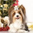 Yorkshire terrier and Christmas Gift - Stok fotoğraf