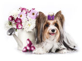 Biewer Yorkshire terrier — Stock Photo