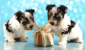 Biewer terrier puppies share Christmas gift — Zdjęcie stockowe