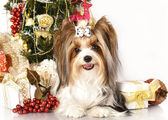 Yorkshire terrier and Christmas Gift — Stok fotoğraf