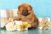 Pomeranian spitz yavru ve yeni yıl hediye — Stok fotoğraf