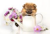 Spitz puppy and flowers — Stock Photo