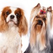Cavalier king charles spaniel and yorkshire terrier - Stok fotoğraf