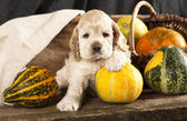 American Cocker Spaniel puppy — Stock Photo