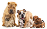 Group of dog — Stock Photo