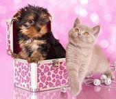 Yorkshire Terrier puppie — Stock Photo