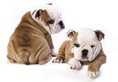 английский бульдог щенок — Стоковое фото