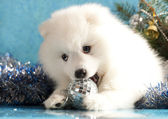 White spitz and New Year gift — Stock Photo