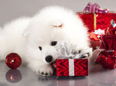 Japanese white spitz and New Year gift — Stock Photo