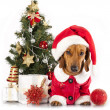 Dachshund dog wearing a santa hat - 图库照片