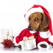 Dachshund dog wearing a santa hat — Stockfoto