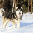 Dog Malamute in the snow — Stock Photo #18388709