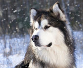 Dog Malamute in the snow — Stock Photo
