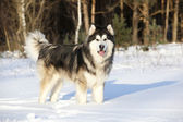 Dog Malamute in the snow — Photo