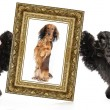 Dog portrait in a gold frame — Stock Photo