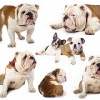 English bulldog - Stock Photo