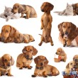 Dog dachshund — Stock Photo #18998553