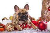 French bulldog — Stock Photo
