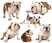 English bulldog — 图库照片