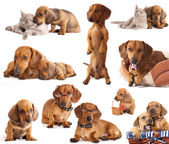 Dog dachshund — Stock Photo