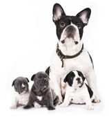French bulldogs — Stock Photo