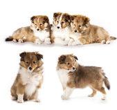 Cuccioli e madre cane, sheltie — Foto Stock