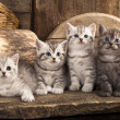 Stockfoto: British kitten