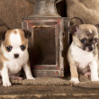 Chihuahua puppies — Foto de Stock