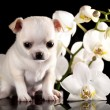 Chihuahupuppies — Stock Photo #20756111