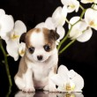 Chihuahupuppies — Stock Photo #20756161
